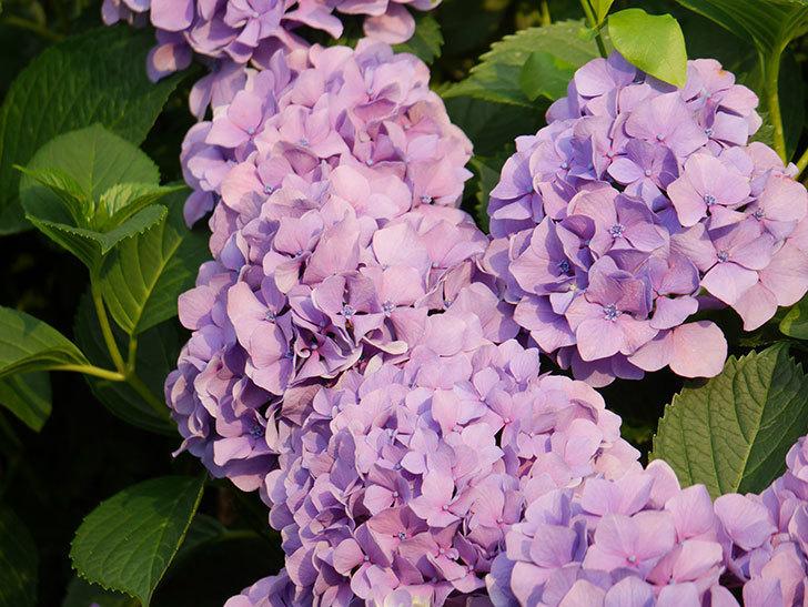 紫のアジサイの花が満開になった。2020年-038.jpg