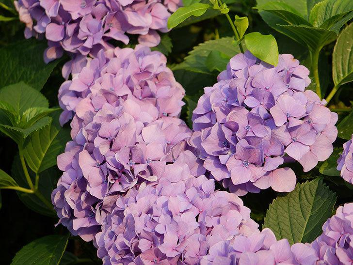 紫のアジサイの花が満開になった。2020年-039.jpg