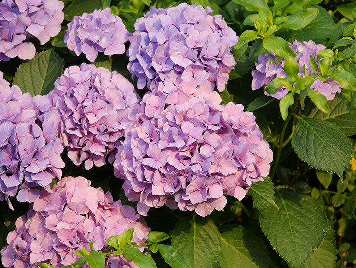 紫のアジサイの花が満開になった。2020年-040.jpg