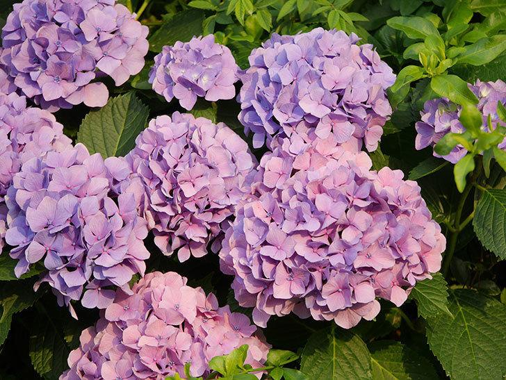 紫のアジサイの花が満開になった。2020年-041.jpg