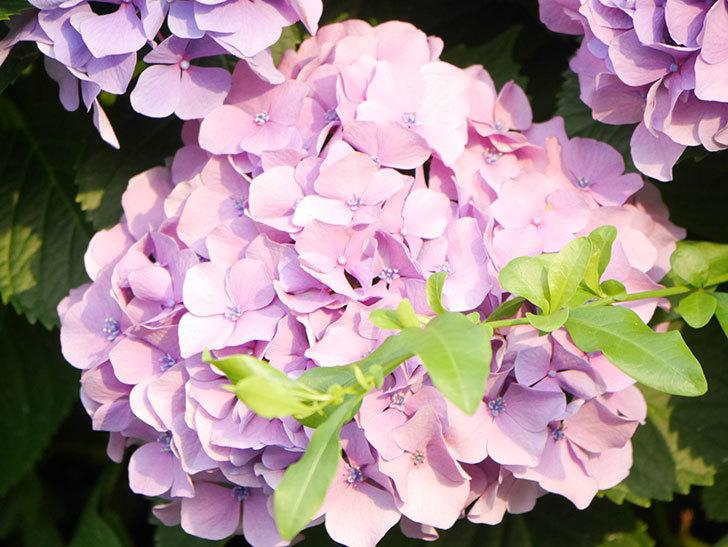 紫のアジサイの花が満開になった。2020年-042.jpg