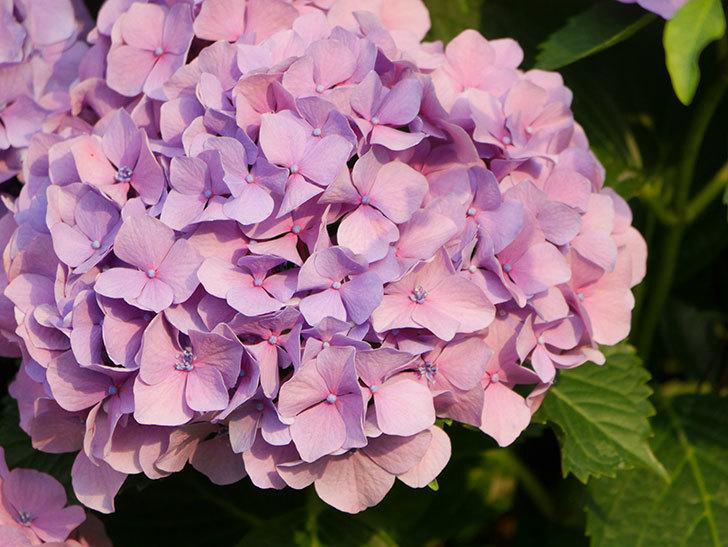 紫のアジサイの花が満開になった。2020年-043.jpg