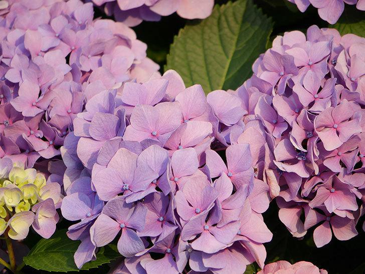 紫のアジサイの花が満開になった。2020年-044.jpg