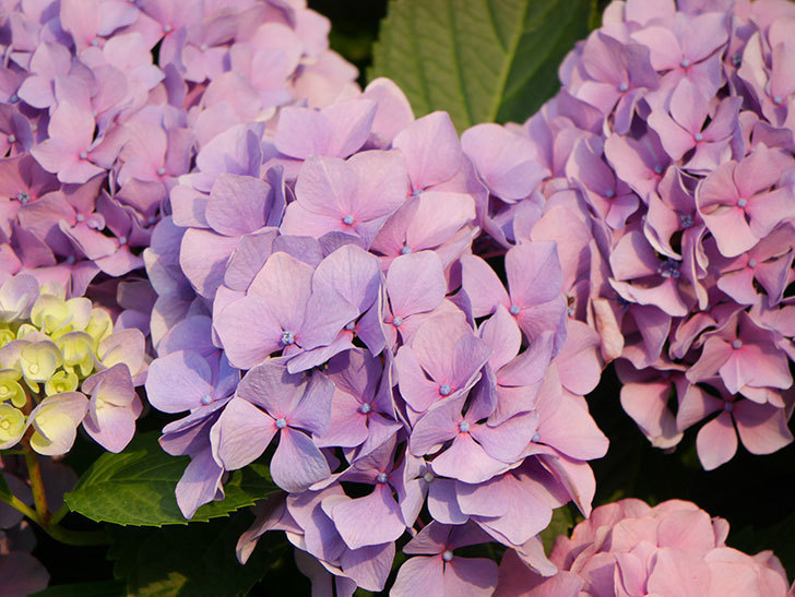紫のアジサイの花が満開になった。2020年-045.jpg