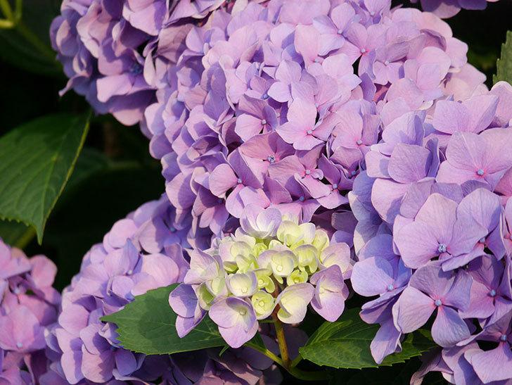 紫のアジサイの花が満開になった。2020年-046.jpg