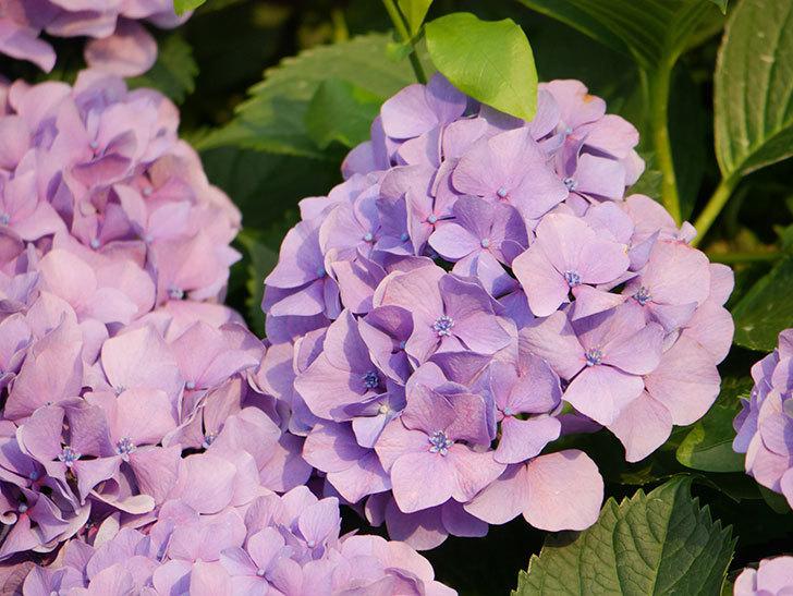 紫のアジサイの花が満開になった。2020年-047.jpg