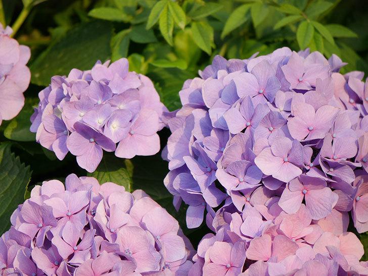 紫のアジサイの花が満開になった。2020年-048.jpg