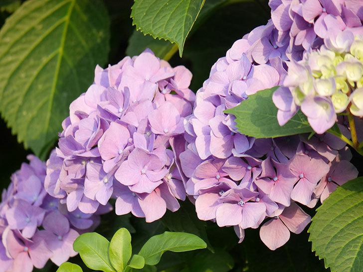 紫のアジサイの花が満開になった。2020年-049.jpg