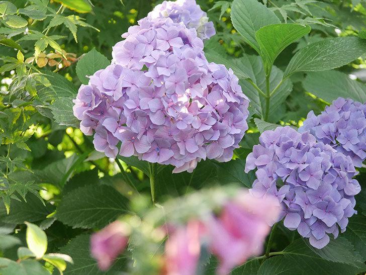 紫のアジサイの花が満開になった。2020年-050.jpg