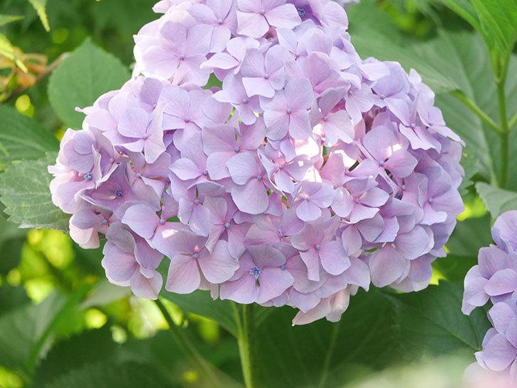 紫のアジサイの花が満開になった。2020年-051.jpg