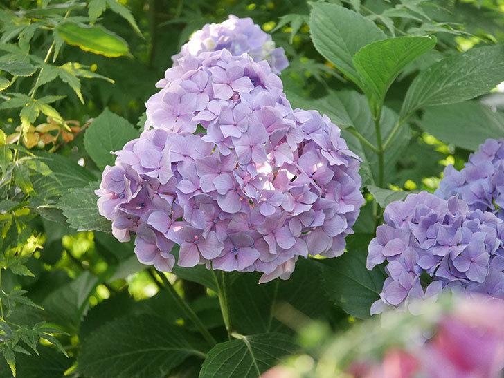 紫のアジサイの花が満開になった。2020年-053.jpg