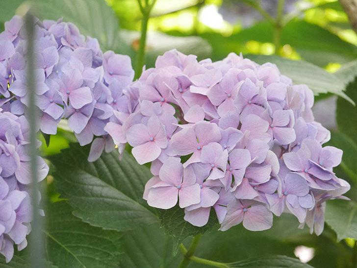 紫のアジサイの花が満開になった。2020年-054.jpg