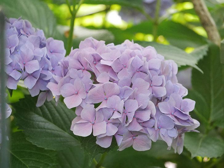 紫のアジサイの花が満開になった。2020年-055.jpg