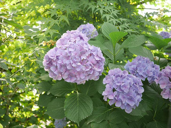 紫のアジサイの花が満開になった。2020年-056.jpg