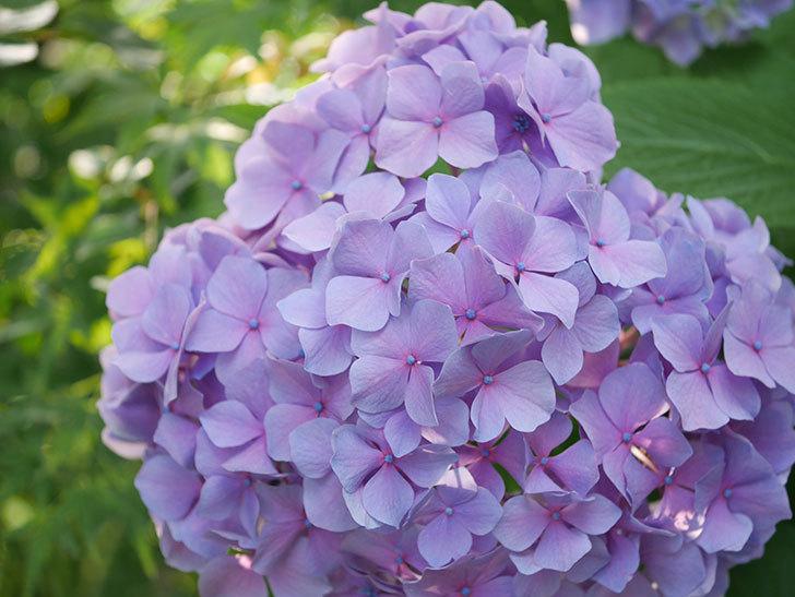 紫のアジサイの花が満開になった。2020年-057.jpg