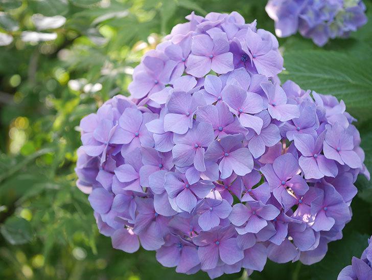 紫のアジサイの花が満開になった。2020年-058.jpg