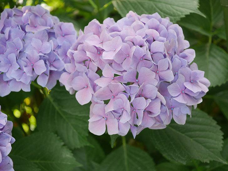 紫のアジサイの花が満開になった。2020年-059.jpg
