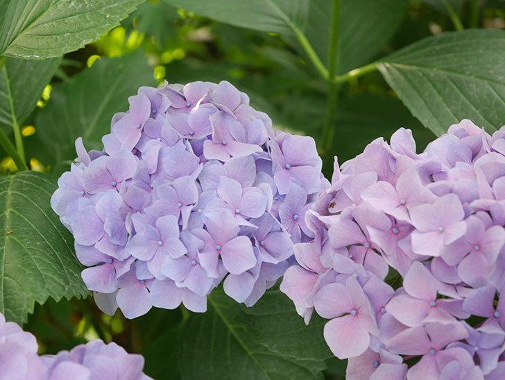 紫のアジサイの花が満開になった。2020年-060.jpg