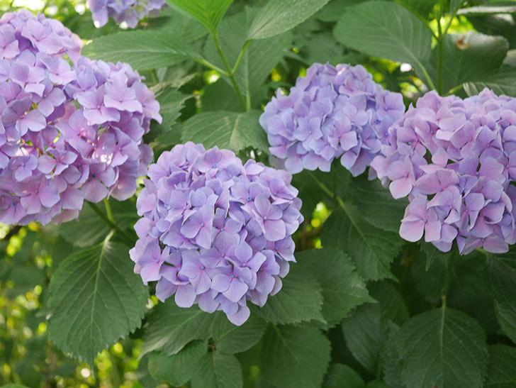 紫のアジサイの花が満開になった。2020年-061.jpg