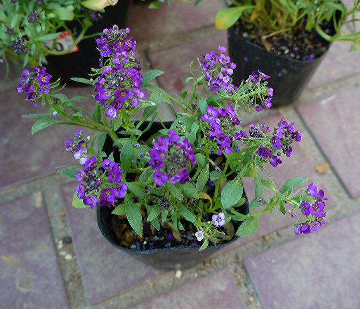 紫のアリッサムがケイヨーデイツーで半額になっていたので4個買って来た。2016年-3.jpg