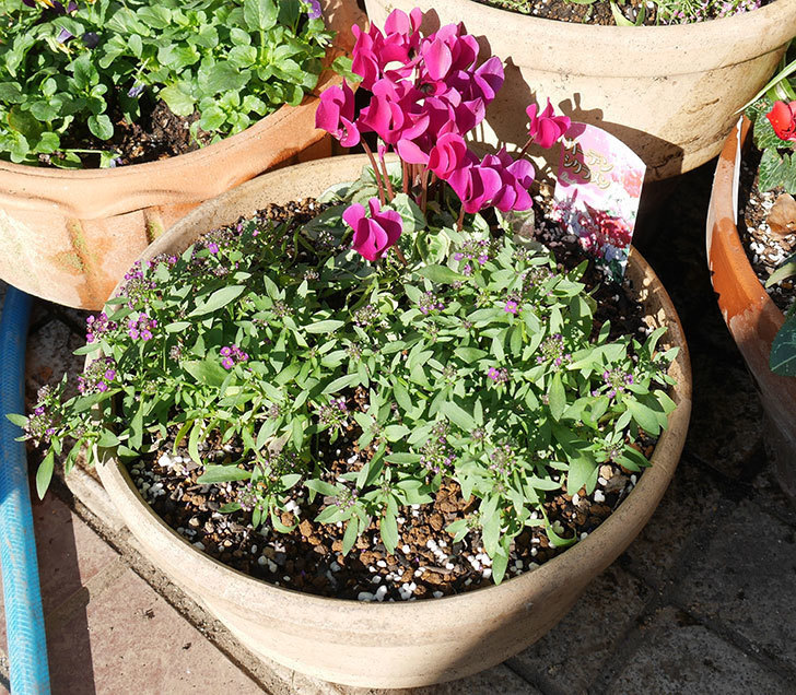 紫のアリッサムとガーデンシクラメンを寄せ植えにした。2018年-1.jpg