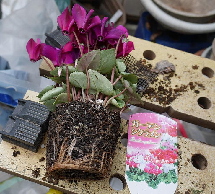 紫のアリッサムとガーデンシクラメンを寄せ植えにした。2018年-2.jpg