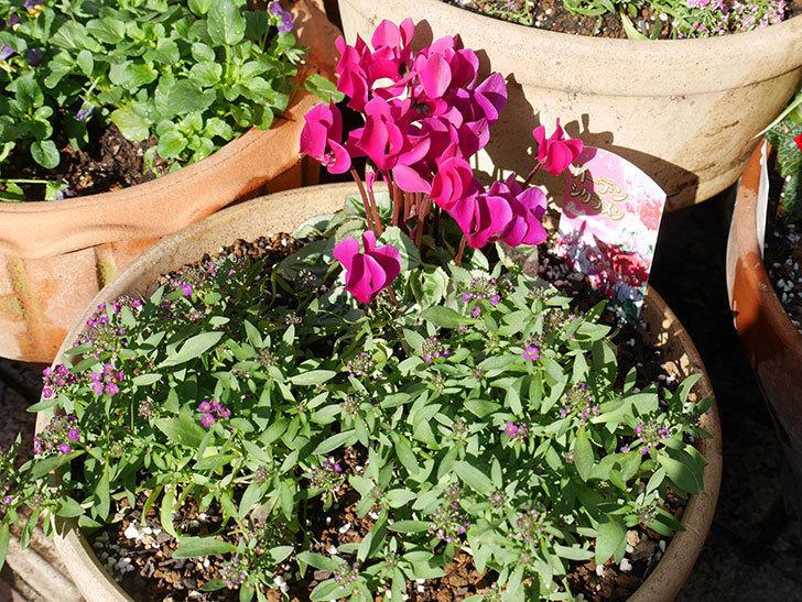 紫のアリッサムとガーデンシクラメンを寄せ植えにした。2018年-4.jpg