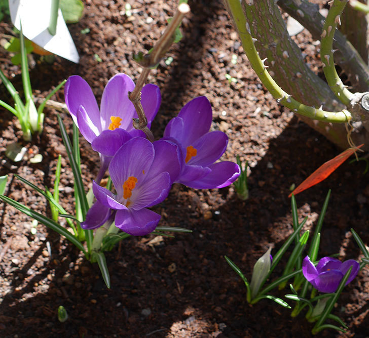 紫のクロッカスの花がたくさん咲いた。2019年-8.jpg