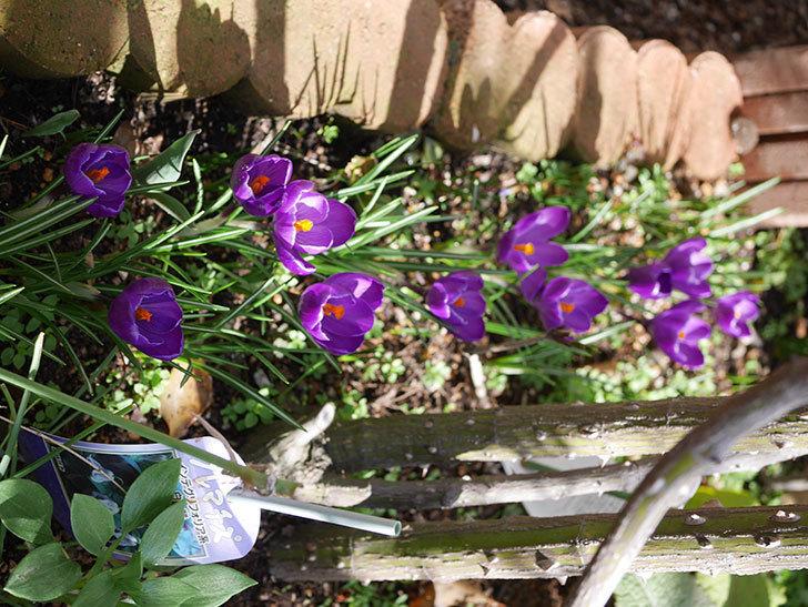 紫のクロッカスの花がたくさん咲いた。2020年-15.jpg