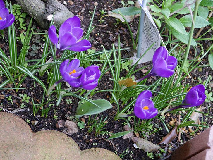紫のクロッカスの花がたくさん咲いた。2020年-7.jpg