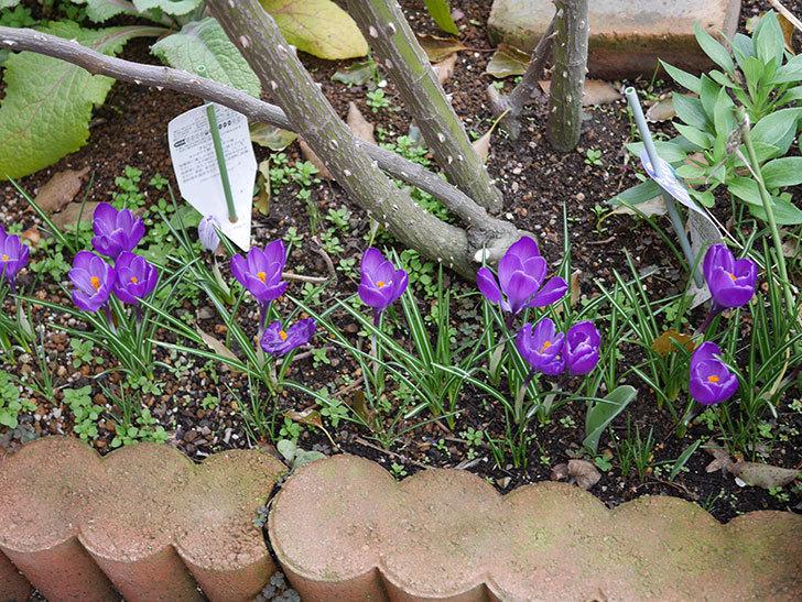 紫のクロッカスの花がたくさん咲いた。2020年-8.jpg