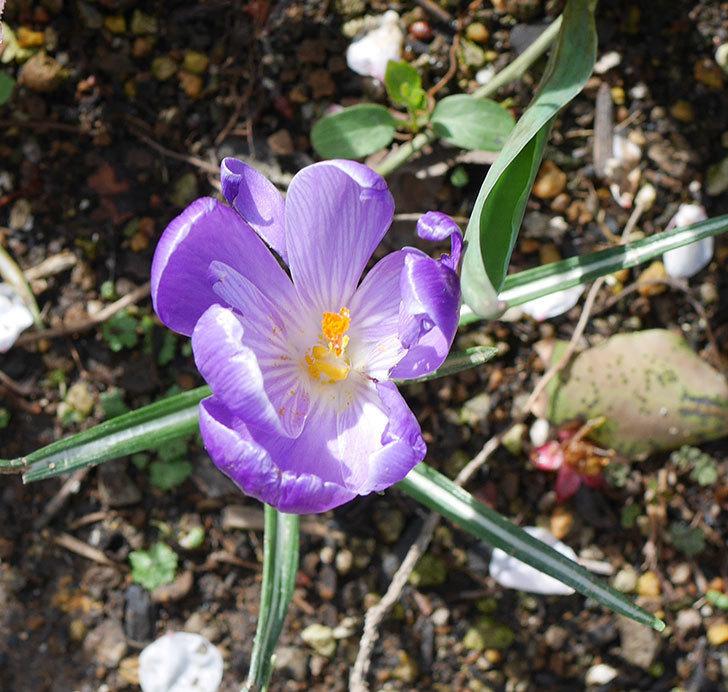 紫のクロッカスの花がたくさん咲いた。2020年-9.jpg