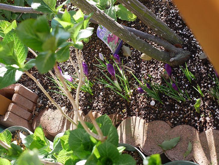 紫のクロッカスの花がたくさん咲いた。2021年-001.jpg