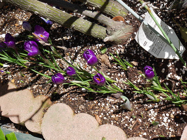 紫のクロッカスの花がたくさん咲いた。2021年-002.jpg