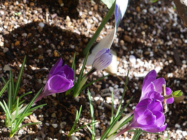 紫のクロッカスの花がたくさん咲いた。2021年-003.jpg