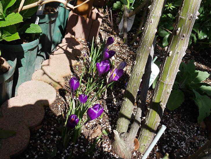 紫のクロッカスの花がたくさん咲いた。2021年-004.jpg