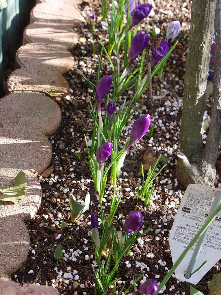 紫のクロッカスの花がたくさん咲いた。2021年-005.jpg