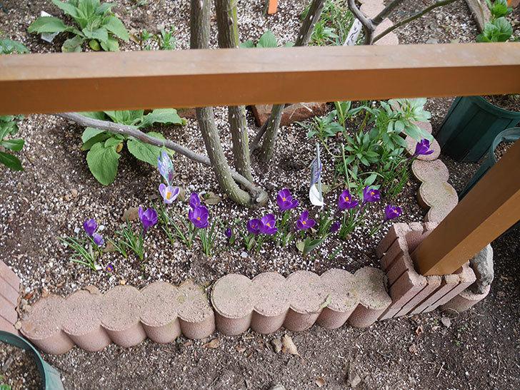 紫のクロッカスの花がたくさん咲いた。2021年-006.jpg