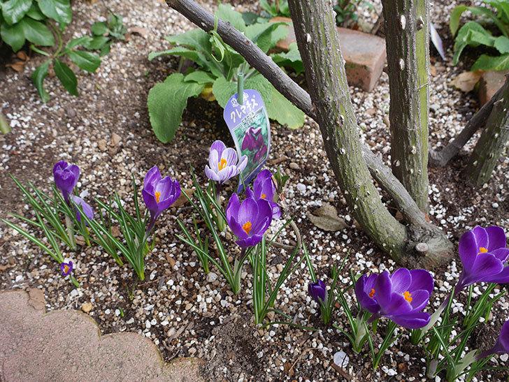 紫のクロッカスの花がたくさん咲いた。2021年-007.jpg