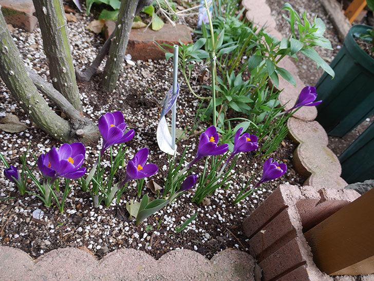 紫のクロッカスの花がたくさん咲いた。2021年-009.jpg