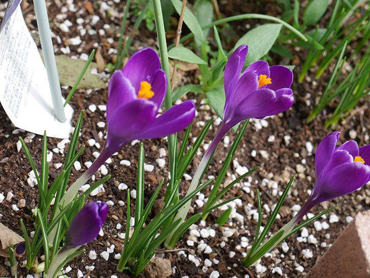 紫のクロッカスの花がたくさん咲いた。2021年-010.jpg
