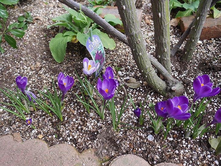 紫のクロッカスの花がたくさん咲いた。2021年-012.jpg