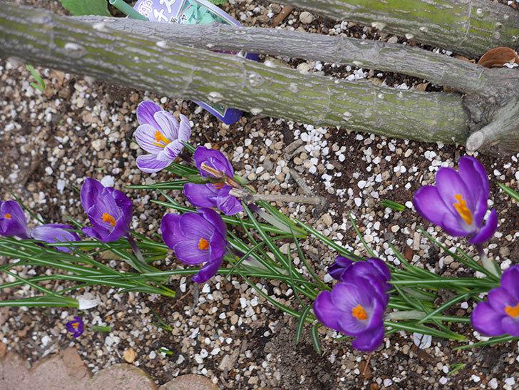 紫のクロッカスの花がたくさん咲いた。2021年-013.jpg