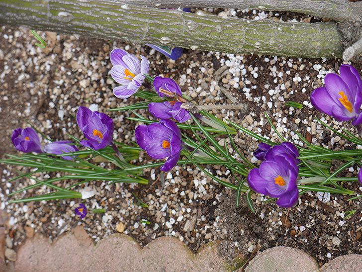 紫のクロッカスの花がたくさん咲いた。2021年-014.jpg