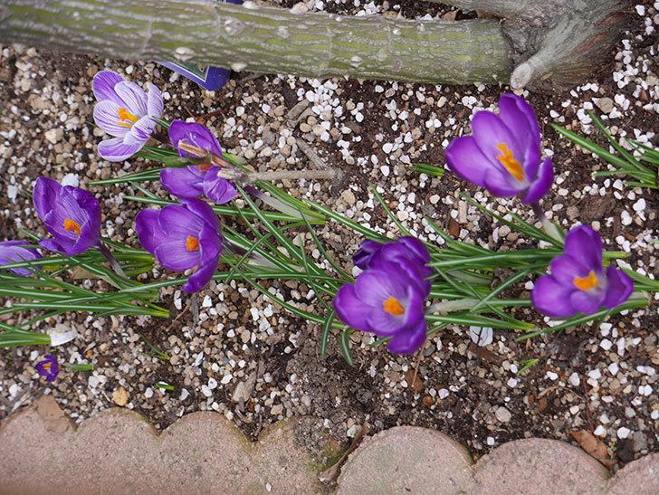 紫のクロッカスの花がたくさん咲いた。2021年-015.jpg
