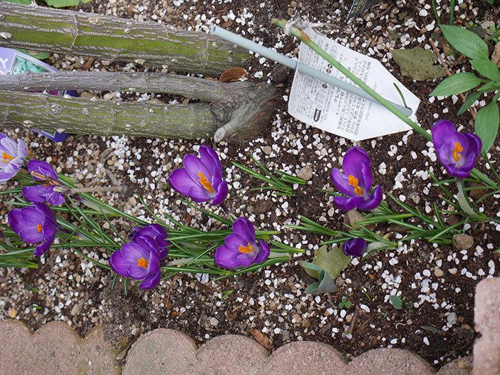 紫のクロッカスの花がたくさん咲いた。2021年-016.jpg