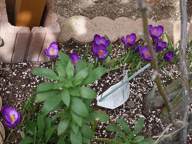 紫のクロッカスの花がたくさん咲いた。2021年-019.jpg