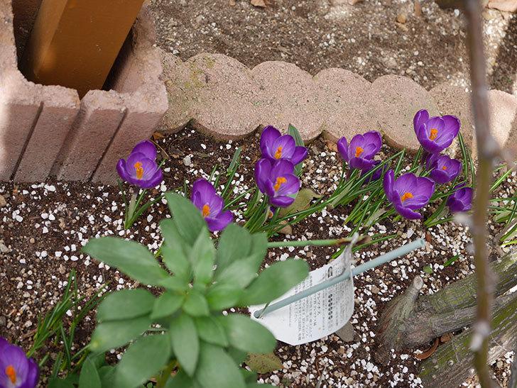 紫のクロッカスの花がたくさん咲いた。2021年-020.jpg
