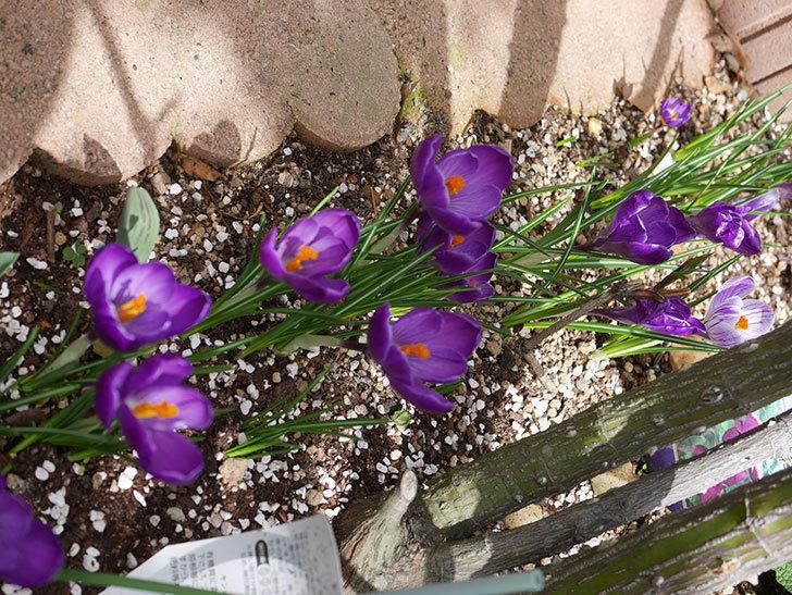 紫のクロッカスの花がたくさん咲いた。2021年-021.jpg