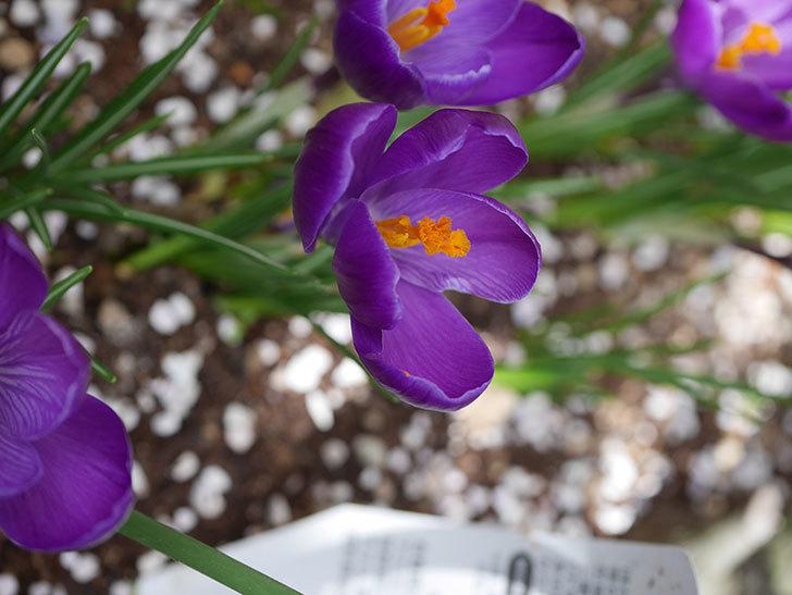紫のクロッカスの花がたくさん咲いた。2021年-022.jpg
